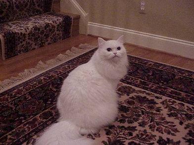 ragamuffin kittens solid white