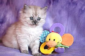 ragamuffin kittens breeder