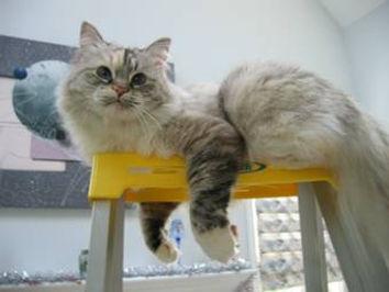 ragamuffin tortie point cat
