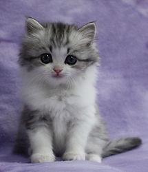 ragamuffin kittens breeders Pinky
