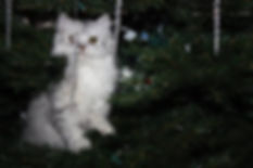 ragamuffin kitten in tree