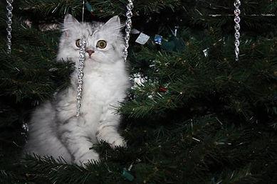 ragamuffin kitten in tree