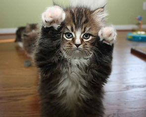 ragamuffin kittens Milo