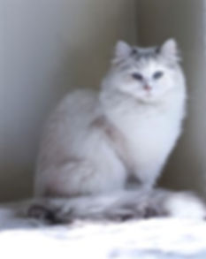 ragamuffin kittens seal point and white