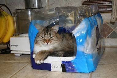 ragamuffin kittens for sale