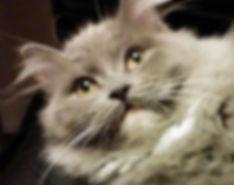 Softkitty ragamuffin cat.jpeg