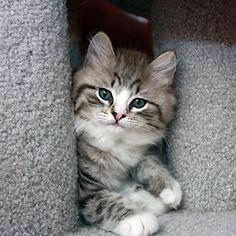 tabby ragamuffin kittens