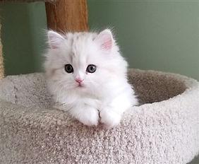 ragamuffin kittens chololate tortie