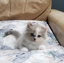 ragamuffin kittens Opal