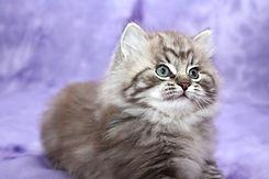 ragamuffin kitten mink tabby