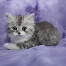 ragamuffin kittens Doyle