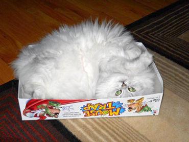 ragamuffin kittens in box