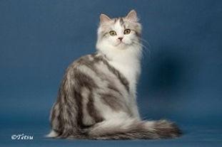 ragamuffin kittens Nougat