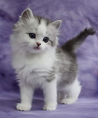 ragamuffin kittens silver and white