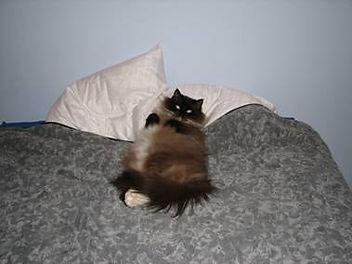 ragamuffin cat breeder