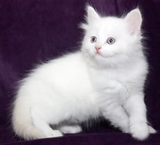ragamuffin kittens red point