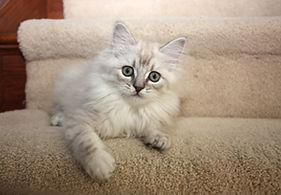 ragamuffin kittens Billie Jean