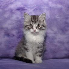 ragamuffin kittens big boy