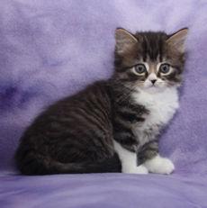 ragamuffin kittens Shay