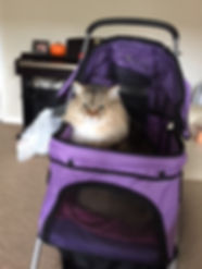 ragamuffin cat in stroller