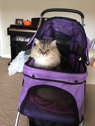 ragamuffin cat in stroller