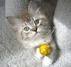 ragamuffin kitten mink mctabby