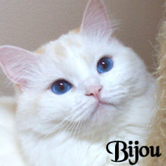 blue eyes ragamuffin kittens