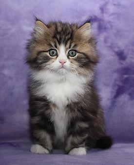 ragauffin kittens handsome