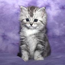 ragamuffin kittens Gibson