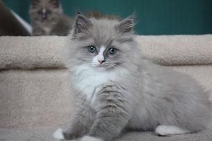ragamuffin kittens blue mink