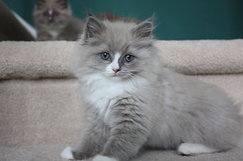 ragamuffin kittens blue mink