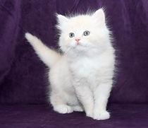 ragamuffin kittens cream mink