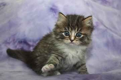 brown tabby ragamuffin kittens