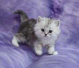 ragamuffin kittens silver