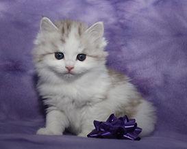 ragamuffin kitten sable tabby