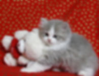 ragamuffin kittens blue sepia and white with teddy bear