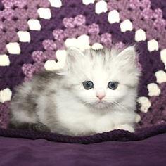 ragamuffin kittens Peaches