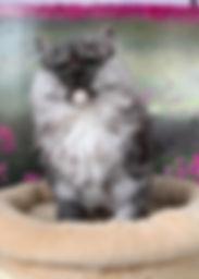 black smoke ragamuffin kitten