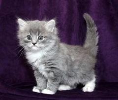 ragamuffin kitten blue & white