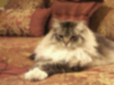 Sable ragamuffin cat