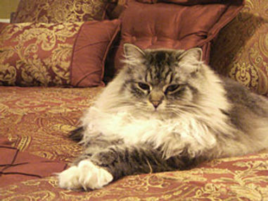 Sable ragamuffin cat