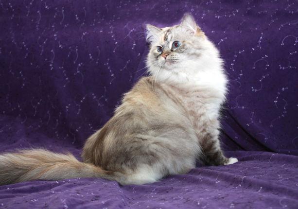 Jete seal lynx tortie point ragamuffin