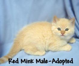 red mink ragamuffin kittens