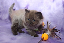 Ragamuffin kitten Sienna Bliss