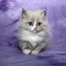 blue ragamuffin kitten Laney