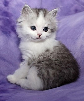 ragamuffin kittens silver mctabby