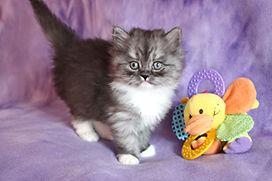 ragamuffin breeder kittens