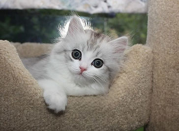 ragamuffin kittens big eyes
