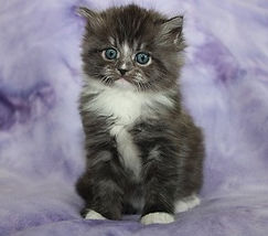 ragamuffin kittens for sale Tucke