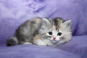 ragamuffin silver tortie kitten